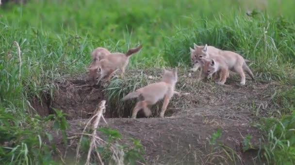 chovná, lišky, lišky štěňata