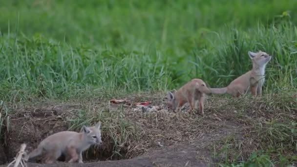 Three puppies foxes near the hole