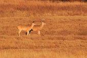 bílá sledoval jelena
