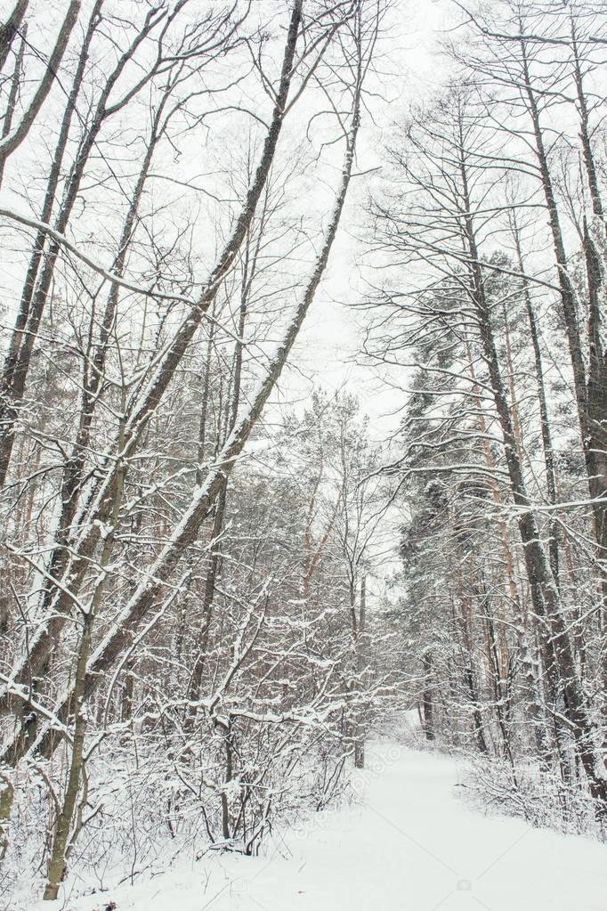 trees with snow in forest in winter