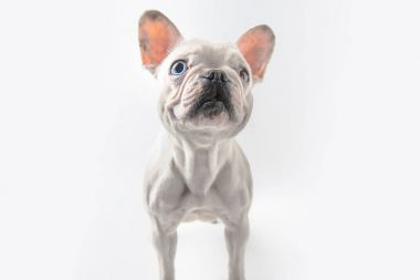 funny french bulldog dog standing isolated on white