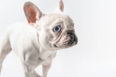 close-up view of adorable french bulldog puppy isolated on white