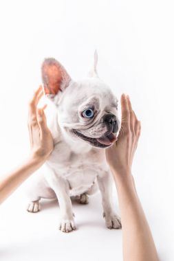 cropped shot of person stroking french bulldog isolated on white