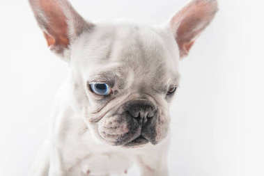 close-up view of adorable french bulldog dog isolated on white