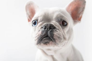 close-up view of adorable french bulldog looking at camera isolated on white