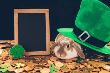 domestic rabbit sitting on golden coins under green hat, st patricks day concept