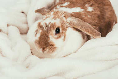 lovely domestic bunny lying on blanket isolated on white