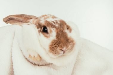 domestic bunny lying on blanket isolated on white