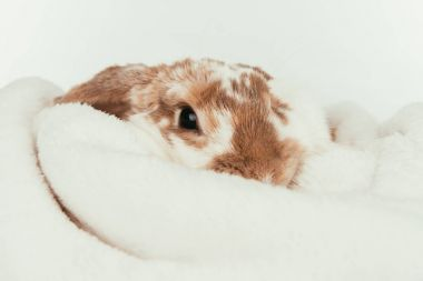 funny domestic rabbit lying on blanket isolated on white
