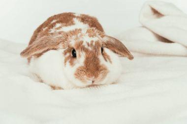 domestic rabbit lying on blanket isolated on white