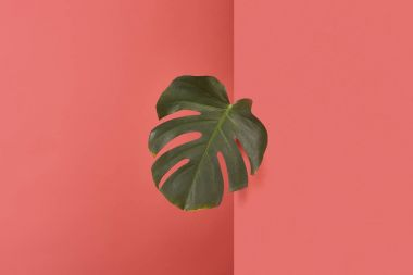 Green monstera leaf sticking out behind corner on red stock vector