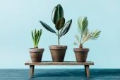 Fotografie zblízka pohled zelených rostlin v kontejnerech na dřevěné dekorativní lavice izolovaná na modré