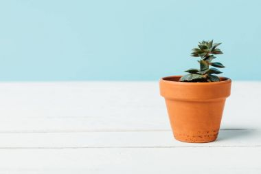 close up view of green succulent plant in flowerpot on white wooden surface isolated on blue