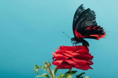 Close up view of beautiful butterfly on red rose isolated on blue stock vector