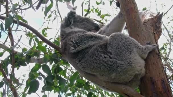 australia koala clinging to branch