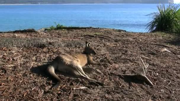 australia murramarang kangaroo