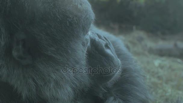 behind the shoulder gorilla in habitat
