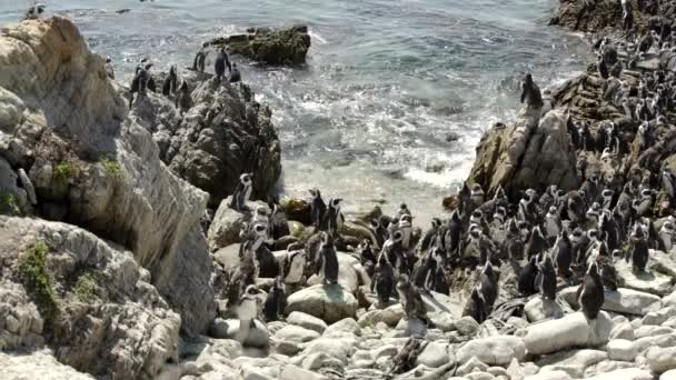 big penguin colony at the rocks