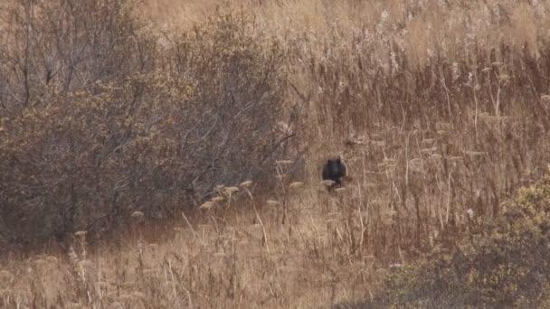 fekete medve cub ugrándozva az egész területen az őszi