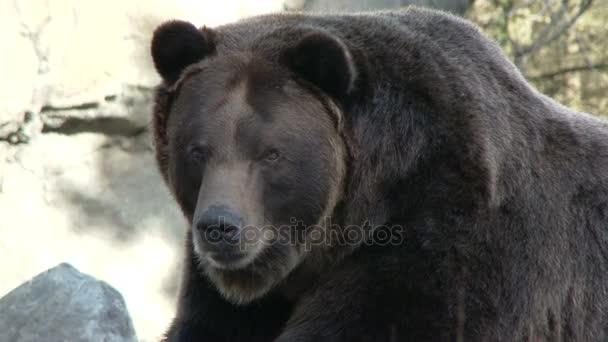 brown bear by rocks