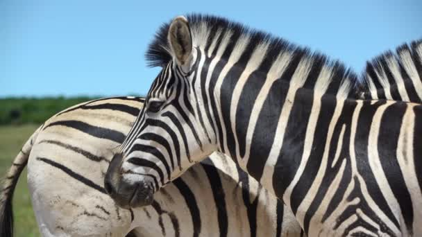 close up from two zebras in addo elephant