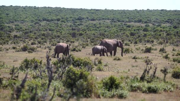 addo elephant elefántok