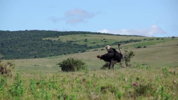 pštros stěhování jeho peří v addo elephant