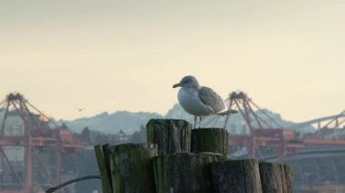 seagull relaxing on pier post