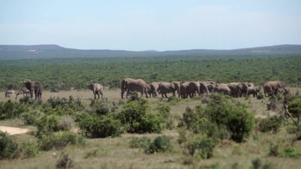 Pan-a egy nagy csorda elefánt addo elephant