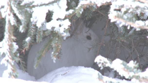 Schneeschuh-Hasen im verschneiten Versteck flieht
