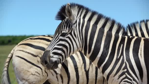 close up from two zebras in addo elephant national park