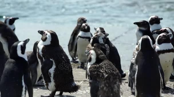 pingvin kolóniát, a köves tengerparton