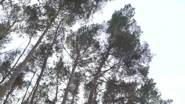 Zimní jehličnatých silnici v lese. Ziminius jehličnatého lesa. Slunce velké borové stromy