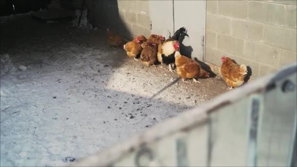 Slepice v kurníku. Kuřata na farmě. Slepice ve stodole