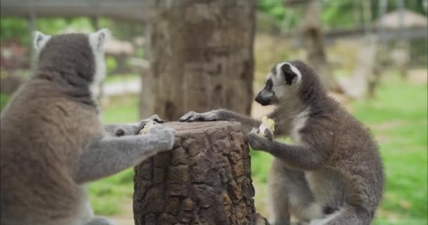 Lemurs eat at the zoo. Lemur eats. Lemurs take food. Funny lemurs eat food.