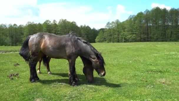 Krásné koně se pasou na jarní louce
