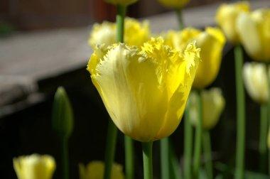"""Картина, постер, плакат, фотообои """"желтые тюльпаны. в саду цветут желтые тюльпаны """", артикул 194867084"""