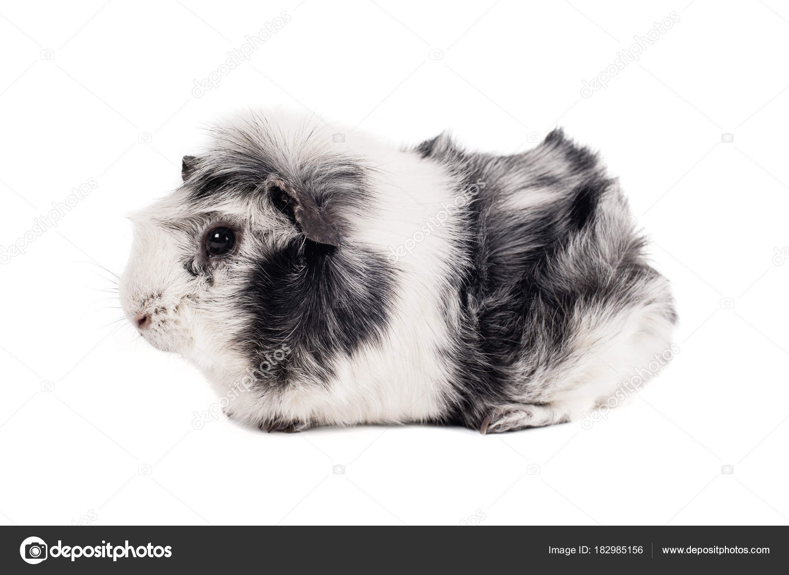 Abyssinian guinea pig black and white | Black White Guinea