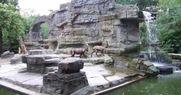 Skupina alpských Ibex bojuje spolu s tam rohy a hrát si s nimi rodina v zoo v Amsterdamu Nizozemsko úžasné