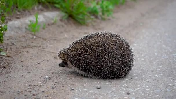 The girl tries to push the hedgehog off the edge of the road so that it is not crushed by a car