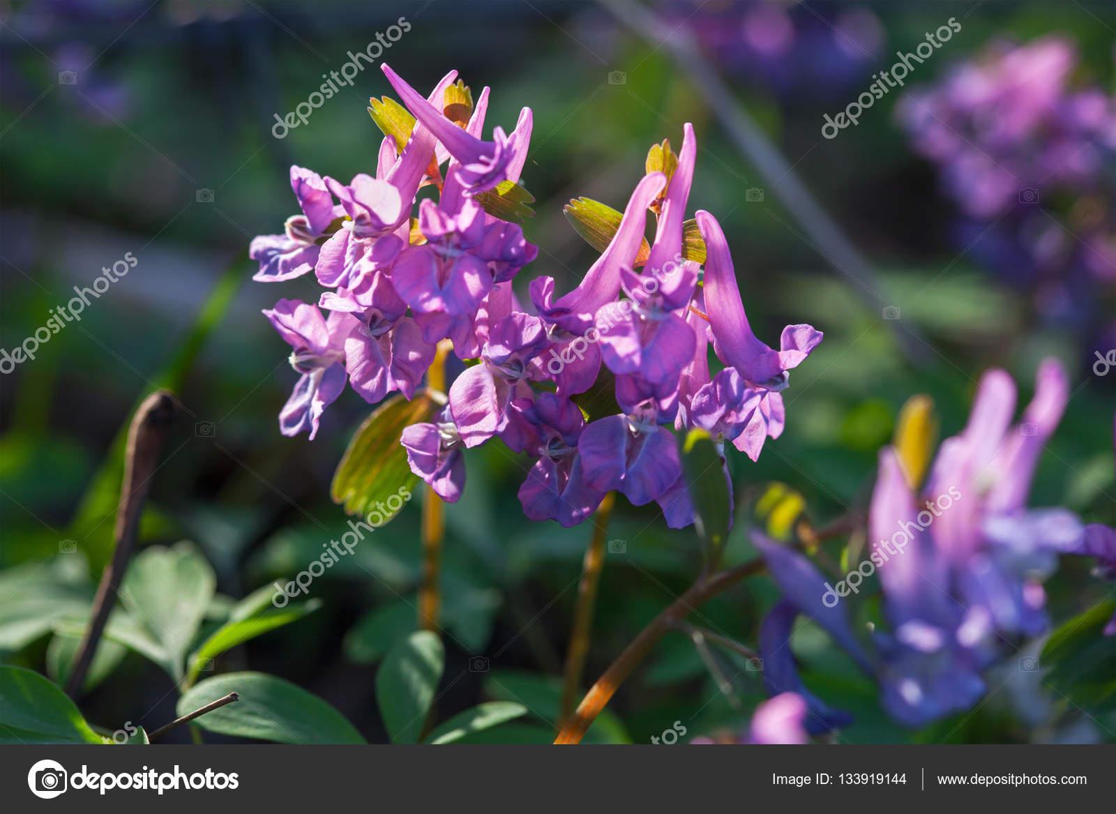 Bella primavera viola fiori selvatici crescono nella foresta \u2014 Foto di