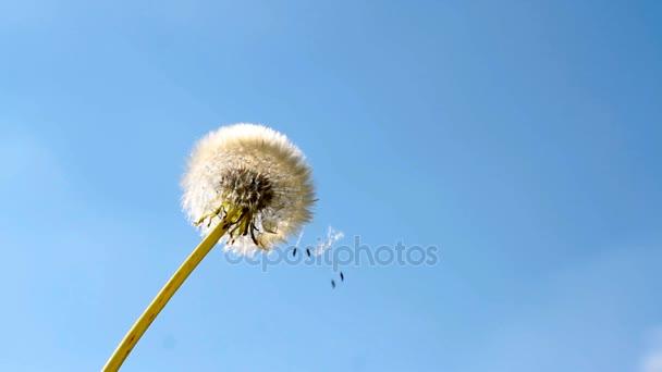 Pampeliška květ a létající semena