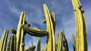 Stenocereus thurberi Organpipe kaktusz