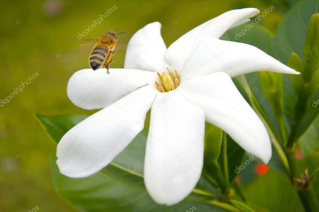 Honey Bee landing on Tiare Maori flower in Rarotonga Cook Island