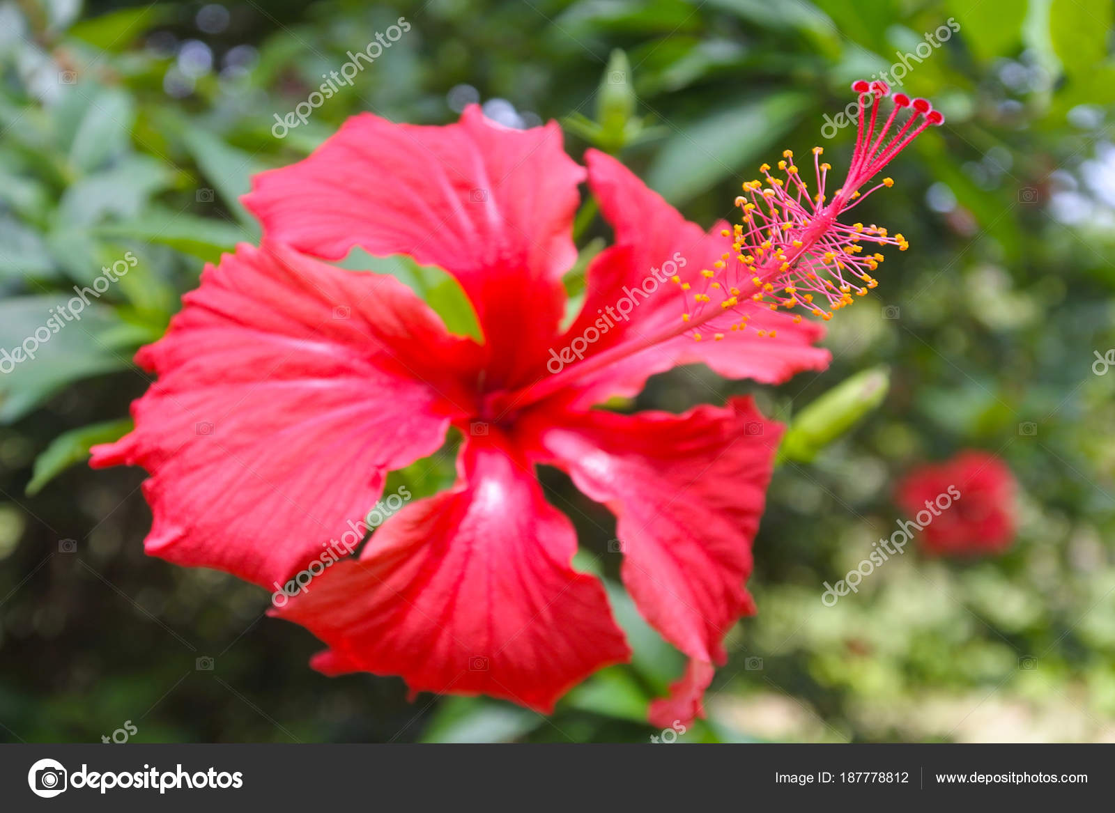 Red Hibiscus Flowering Plants Grows On Rarotonga Cook Islands