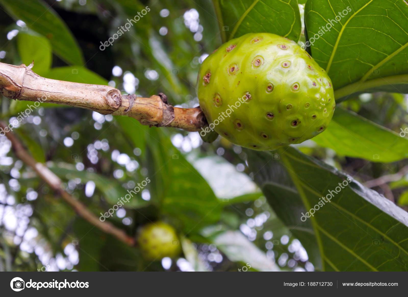 Noni Meyvesi Neye İyi Gelir