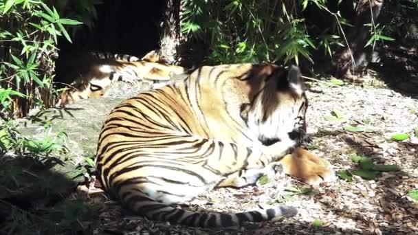 Relaxed Sumatran Tiger licking his paws