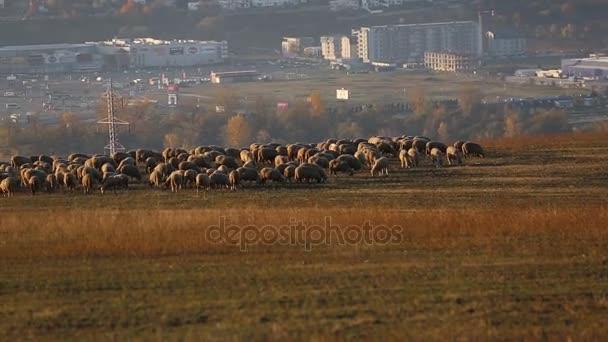 Ovce na hřišti na okraji města v krásné svítání