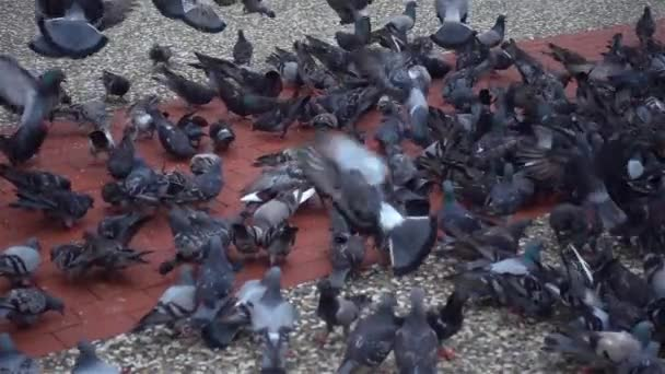 Flock Of Pigeons Flying And Walking On Concrete Floor.