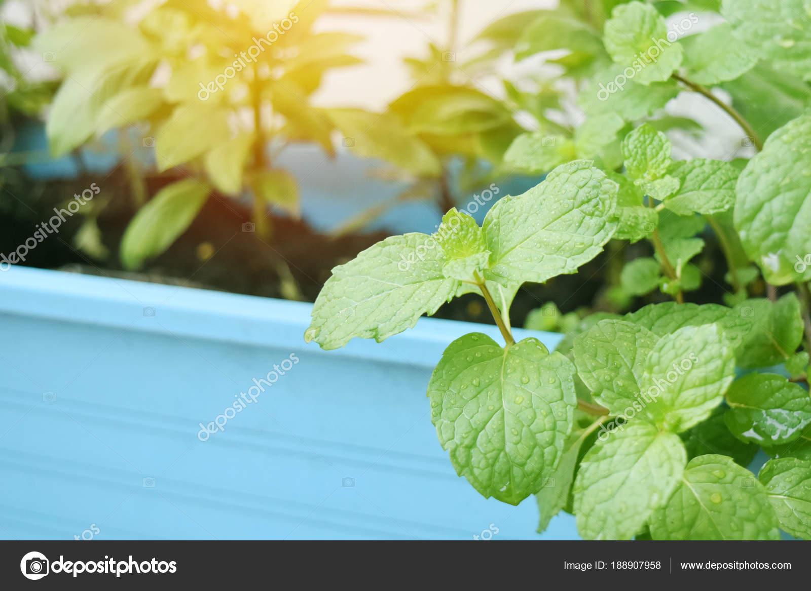 Planter Menthe En Pot peppermint in blue plastic pot warm atmosphere of the